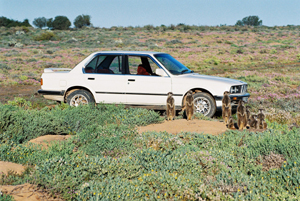 BMW car and meerkat suricate meerkats suricates wildlife tour The Meerkat Magic Conservation Project Oudtshoorn Western Cape Klein Karoo Little Karoo Garden Route Area South Africa Accommodation