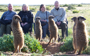 meerkat suricate meerkats suricates wildlife tour Meerkat Magic conservation project Oudtshoorn Western Cape Klein Karoo Little Karoo Garden Route Area South Africa Accommodation links 167
