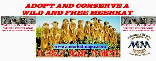 Adopt a Wild meerkat / meerkats / suricate / suricates and help support conservation - signed supporter certificate, meerkat poster and meerkat conservation information delivered globally from Britain.