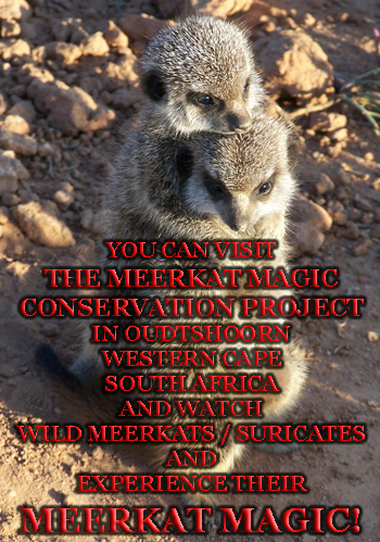meerkat suricate meerkats suricates wildlife tour The Meerkat Magic Conservation Project Oudtshoorn Western Cape Klein Karoo Little Karoo Garden Route Area South Africa Accommodation links 11112
