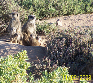 The Meerkat Magic Conservation Project proudly brings you The Meerkat Magic Moments Wild and Free Meerkat / Suricate Video Diaries Episodes filmed in The Meerkat Magic Valley Reserve Oudtshoorn, Western Cape, South Africa. The true, unedited, no pre-determined script, no post editing, the real behind the scenes and science with truly wild and free meerkats / suricates, unfed, unhandled, uncaptured, never marked and never fitted with tracking devices - filmed and narrated by Grant M. Mc Ilrath - A.K.A - The Meerkat Man who has worked full time with wild meerkat / surciate in the wild since 1993 and is still doing this daily. The Meerkat Magic Video Diaries is the True story of the species, with real sounds, no music, and filmed as if the viewer was filming it themselves or standing there watching the event.