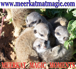 Meerkat Magic Moments 0005.jpg