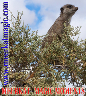 Meerkat Magic Moments 0006.jpg