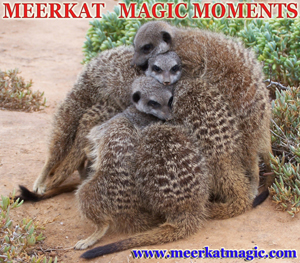 Meerkat Magic Moments 0012.jpg