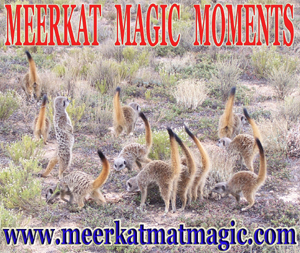 Meerkat Magic Moments 0014.jpg