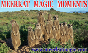 Meerkat Magic Moments 0015.jpg