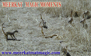 Meerkat Magic Moments 0027.jpg
