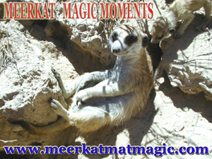 Meerkat Magic Moments 0032.jpg