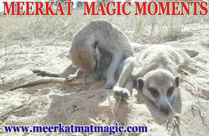 Meerkat Magic Moments 0037.jpg