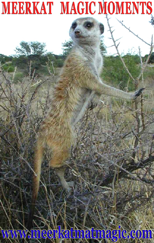 Meerkat Magic Moments 0044.jpg