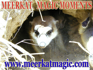Meerkat Magic Moments 0059.jpg