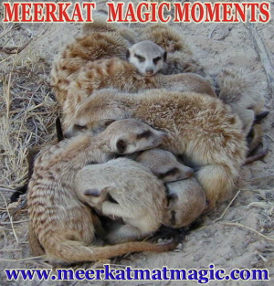 Meerkat Magic Moments 0065.jpg