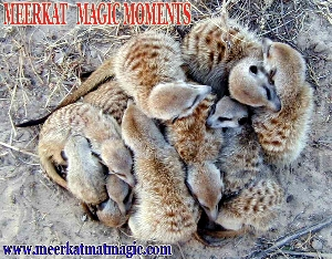 Meerkat Magic Moments 0072.jpg