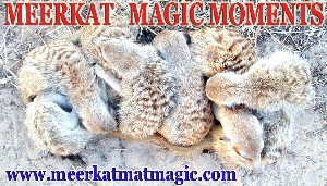 Meerkat Magic Moments 0073.jpg