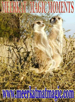 Meerkat Magic Moments